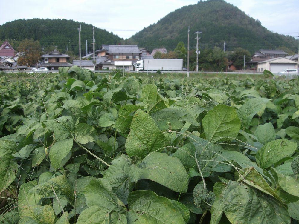黒豆枝豆の畑